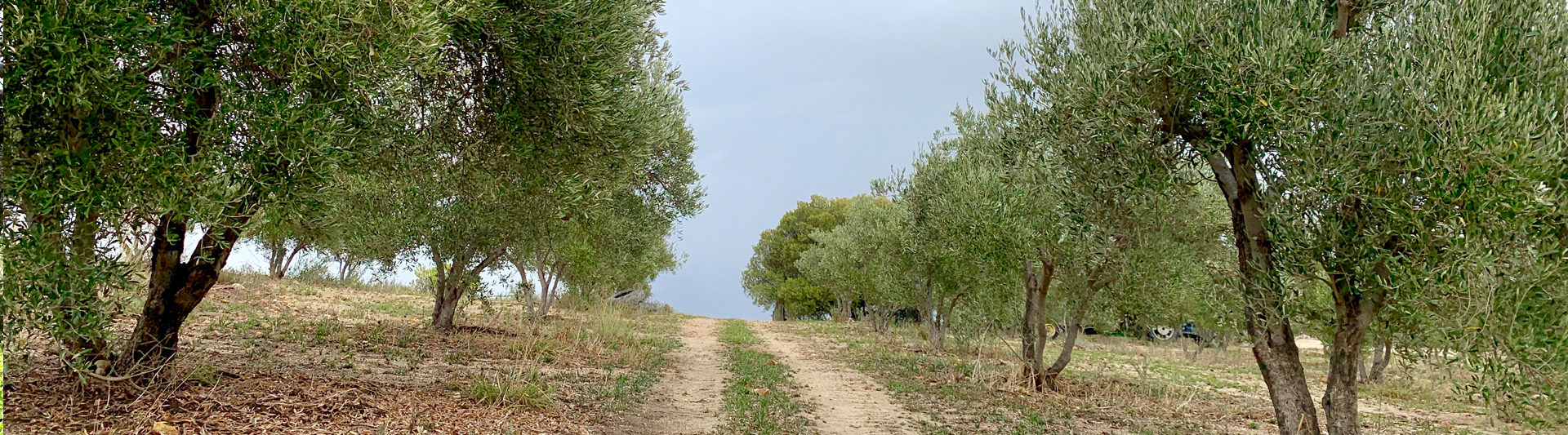 about-olive-trees